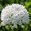 Allium  palaestinum