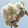 Cymbolaena griffithii