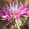 דרדר  גדול-פרחים