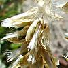 Melica persica