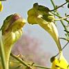Kikxia spartioides