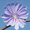 Cichorium pumilum