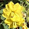 Solanum cornutum