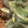 גרגרנית  קצרת-פרי
