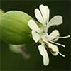 Silene vulgaris