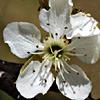 Prunus ursina