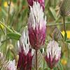 Trifolium dichroanthum