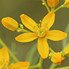 Haplophyllum buxbaumii