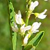 Melilotus albus