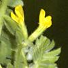 Ornithopus compressus
