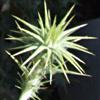 Cousinia hermonis