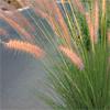 Pennisetum asperifolium