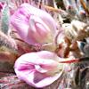 Astragalus cruentiflorus