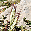Bromus danthoniae