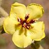 Verbascum fruticosum