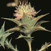 Carthamus glaucus