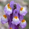 Linaria haelava