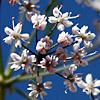 Astomaea seselifolium