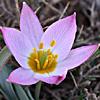 Tulipa lownei