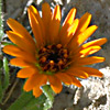 Calendula pachysperma