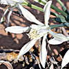 Pancratium sickenbergeri