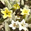 Heliotropium arbainense