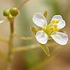 Savignya parviflora