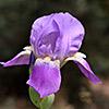 Iris mesopotamica