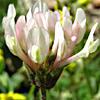 Trifolium clypeatum