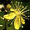 Hypericum thymifolium