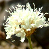 Cephalaria stellipilis