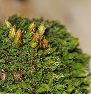 White-tipped Bristle-moss