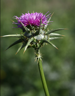 Our Lady's Thistle, Holy Thistle, Milk Thistle