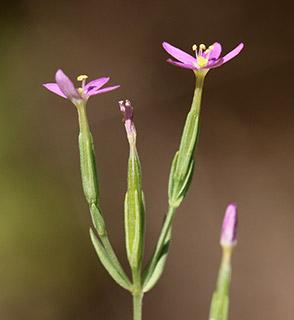 ערבז דק-פרחים