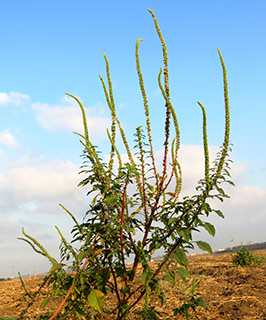 Redroot, Careless weed