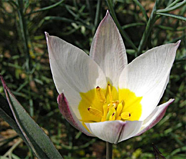 Two-Flowered Tulip