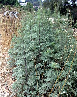 Burr ragweed