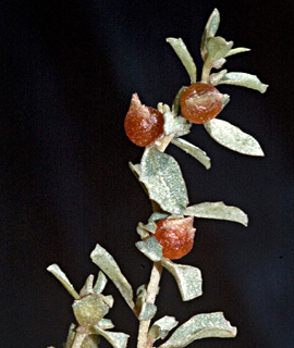 Australian Salt bush