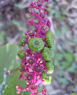 Common Pokeberry, Pokeweed