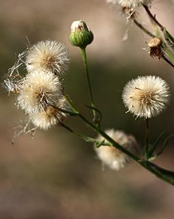 Horseweed, Fleabane