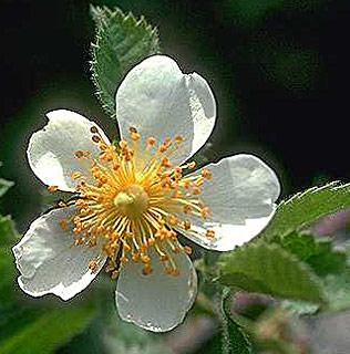 ורד  צידוני