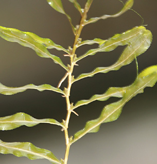 Curly pond weed