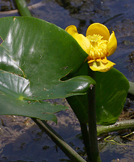 Yellow water- or pond lily,Brandy bottle