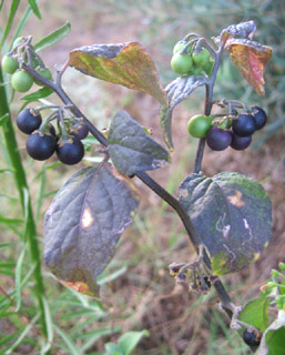 Black Nightshade, Hound's Berry