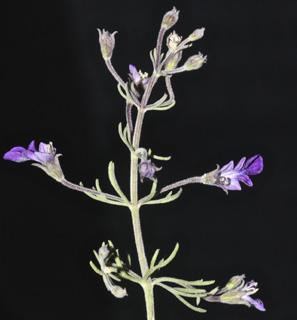 געדה  זעירת-פרחים