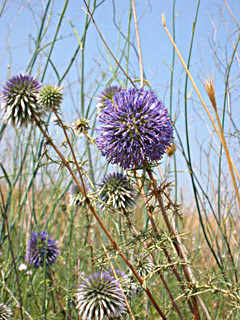 Common Globe-thistle