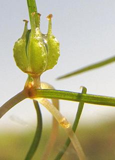 חוטית הביצות