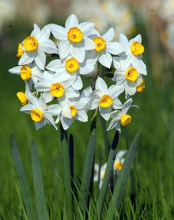 Common Narcissus