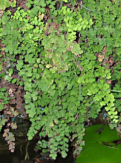 Southern Maidenhair