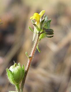 פשתנית  קטנת-פרחים